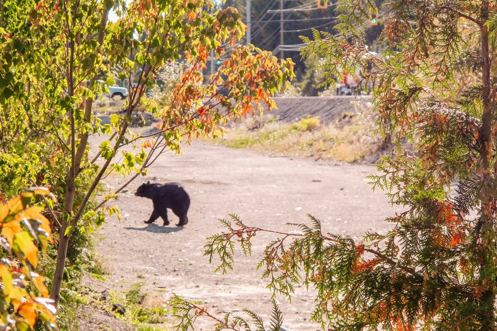 Black Bear Safety Tips