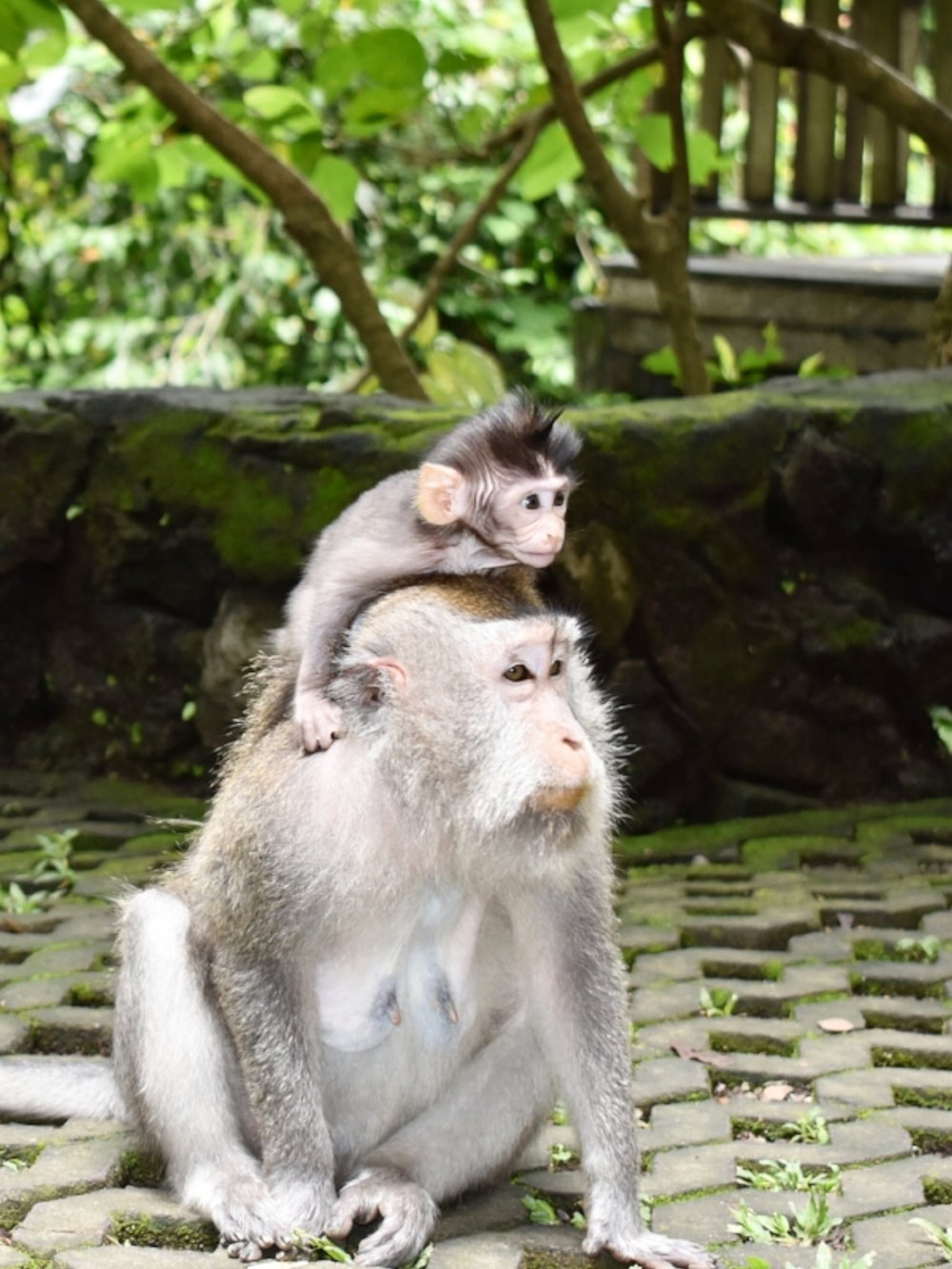 Mama and baby monkeys at the Sacred Monkey Forest Sanctuary